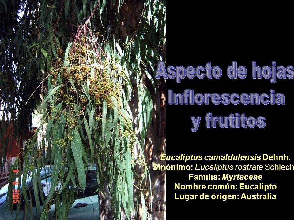 Nombre común: Eucalipto Lugar de origen: Australia