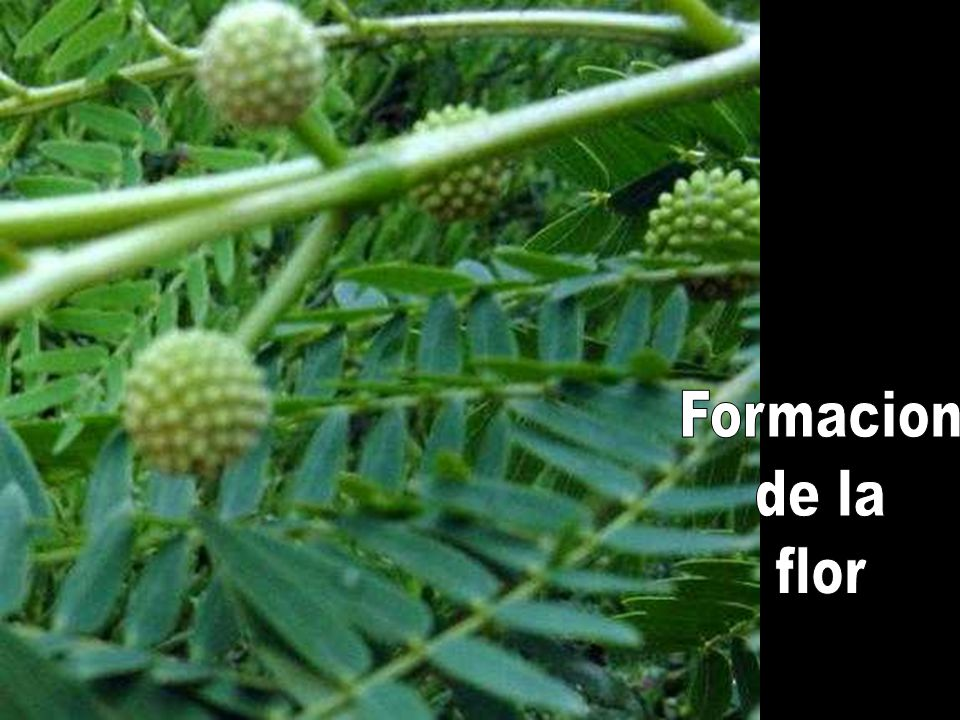 Formacion de la flor
