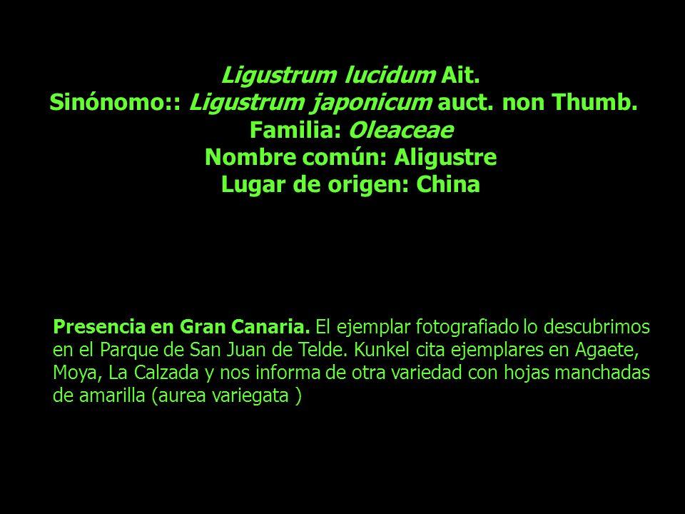 Sinónomo:: Ligustrum japonicum auct. non Thumb. Familia: Oleaceae