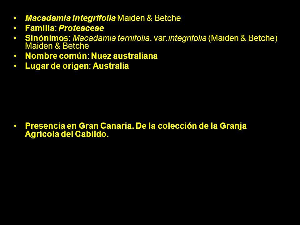 Macadamia integrifolia Maiden & Betche