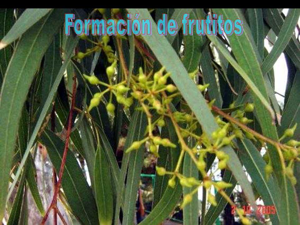 Formación de frutitos