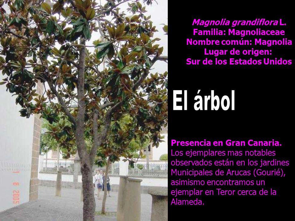 El árbol Magnolia grandiflora L. Familia: Magnoliaceae