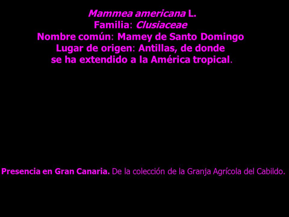 Nombre común: Mamey de Santo Domingo