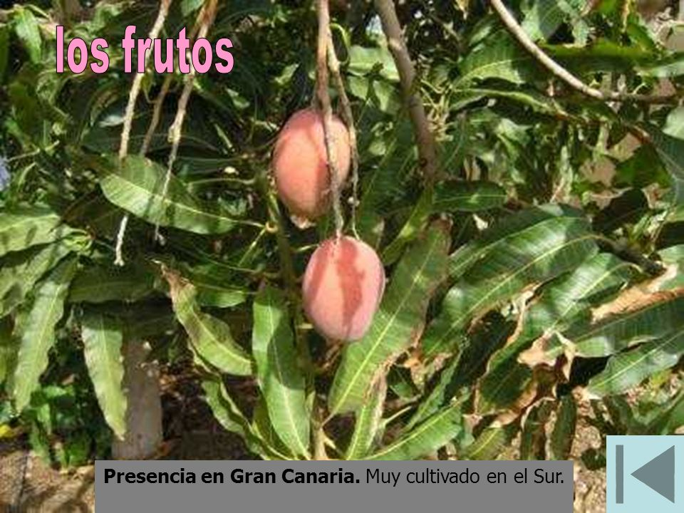 Presencia en Gran Canaria. Muy cultivado en el Sur.