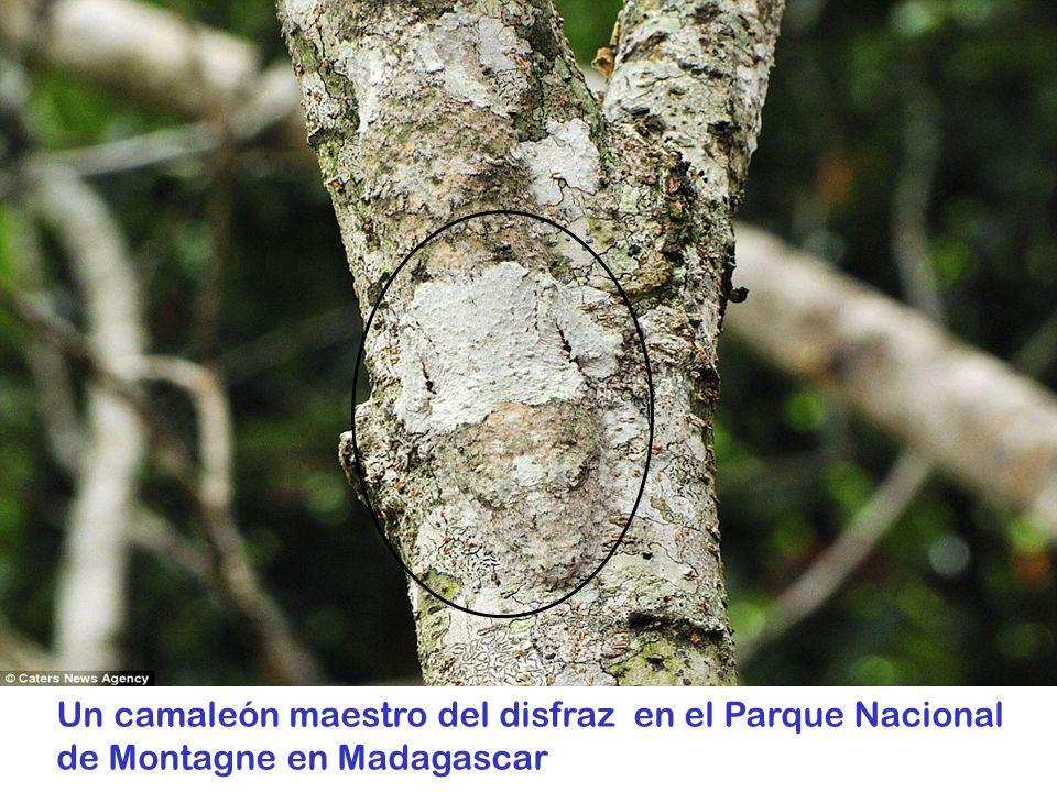 Un camaleón maestro del disfraz en el Parque Nacional de Montagne en Madagascar
