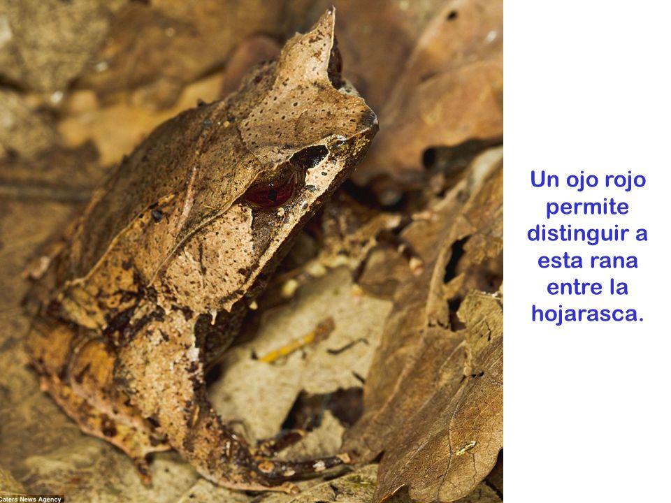 Un ojo rojo permite distinguir a esta rana entre la hojarasca.