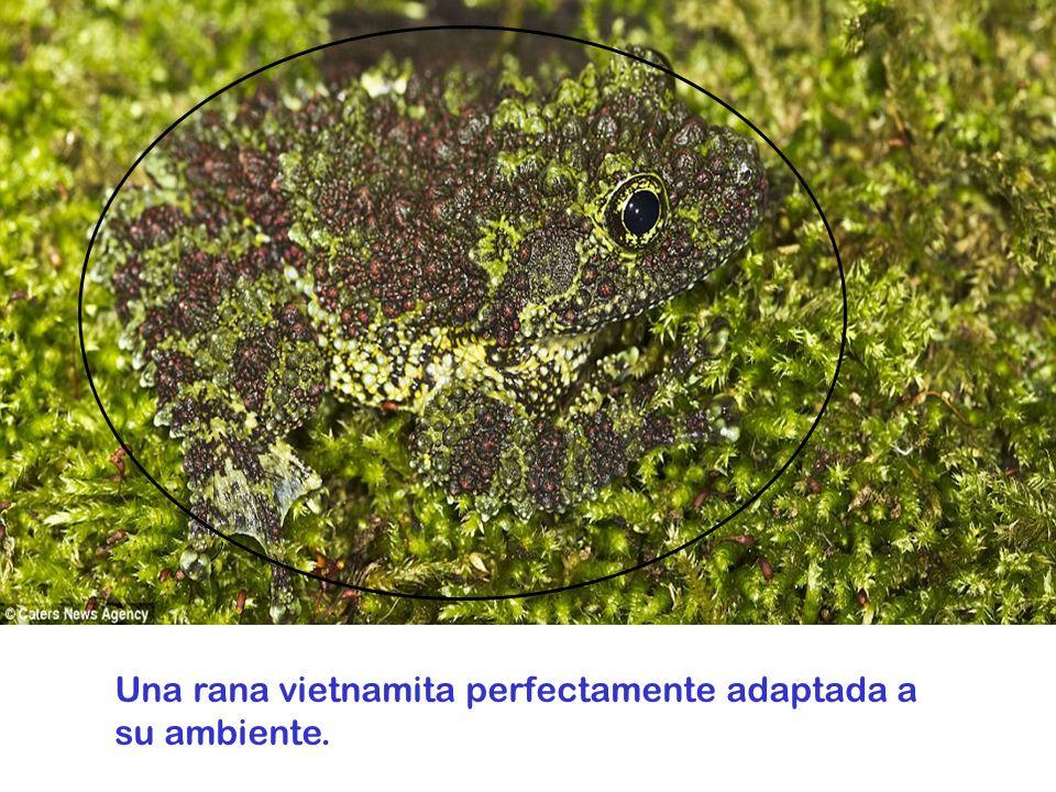 Una rana vietnamita perfectamente adaptada a su ambiente.