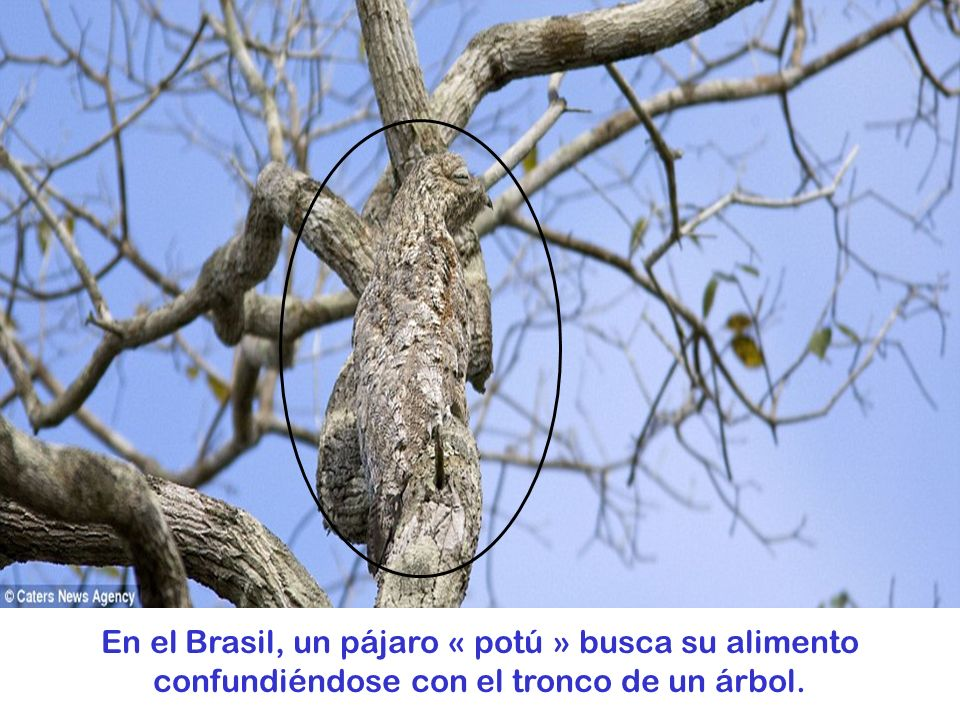 En el Brasil, un pájaro « potú » busca su alimento confundiéndose con el tronco de un árbol.