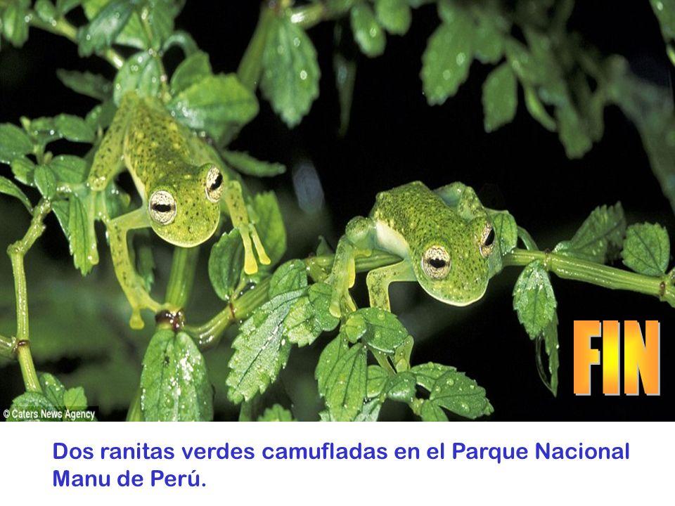 FIN Dos ranitas verdes camufladas en el Parque Nacional Manu de Perú.