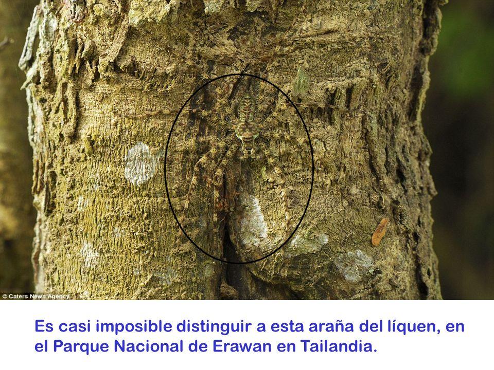 Es casi imposible distinguir a esta araña del líquen, en el Parque Nacional de Erawan en Tailandia.