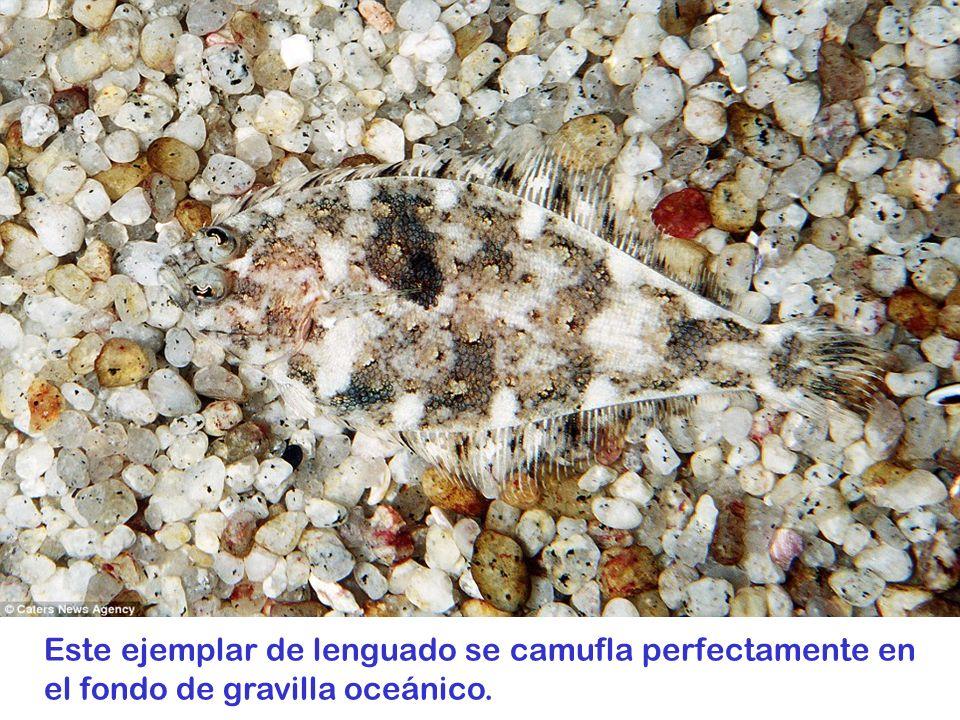 Este ejemplar de lenguado se camufla perfectamente en el fondo de gravilla oceánico.