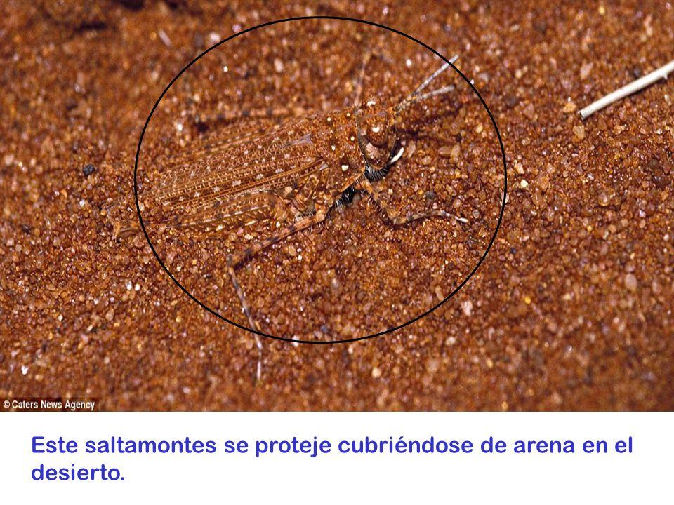 Este saltamontes se proteje cubriéndose de arena en el desierto.