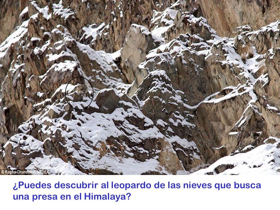 ¿Puedes descubrir al leopardo de las nieves que busca una presa en el Himalaya