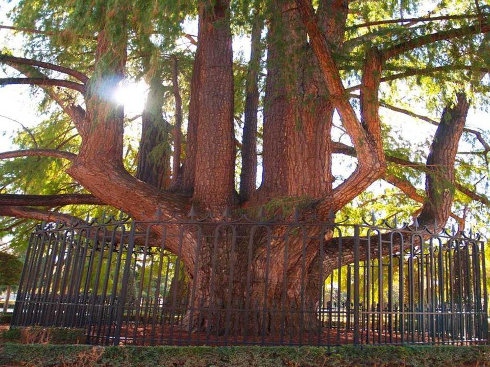 candelabro. En este Jardín se encuentra el árbol mas viejo de Madrid,