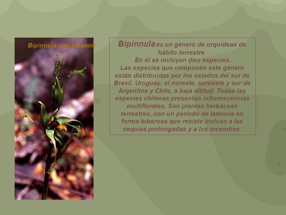 Bipinnula es un género de orquídeas de hábito terrestre.