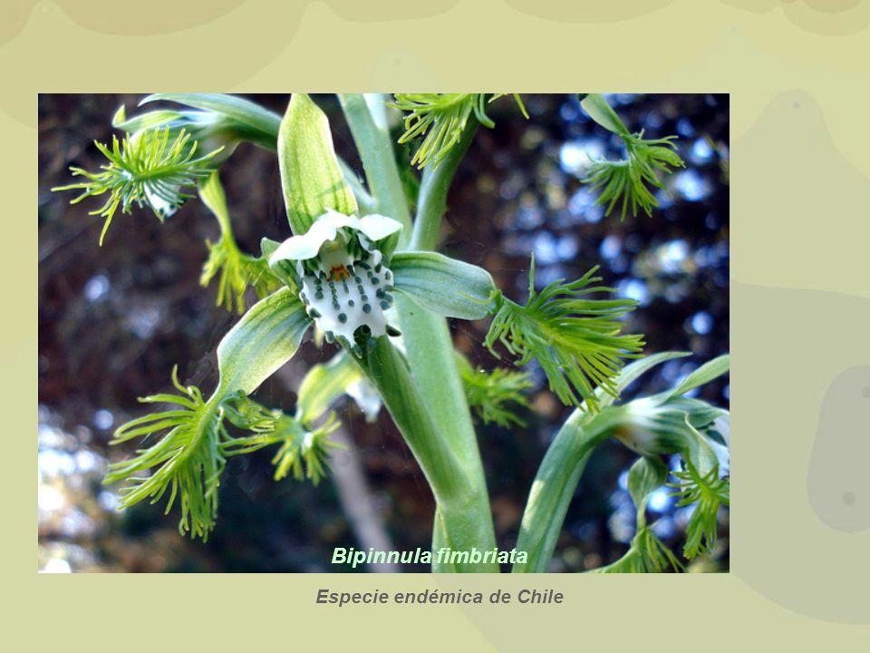 Bipinnula fimbriata Especie endémica de Chile