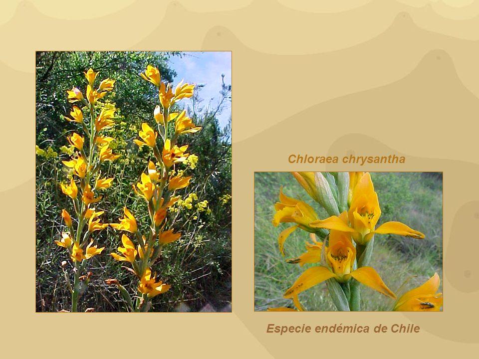 Chloraea chrysantha Especie endémica de Chile