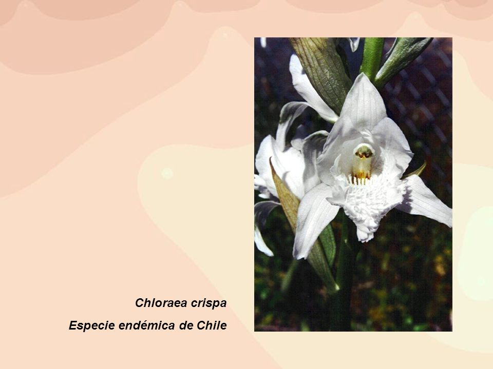 Chloraea crispa Especie endémica de Chile