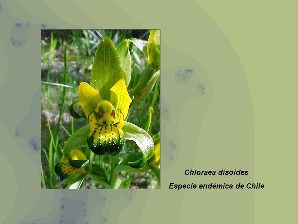 Especie endémica de Chile