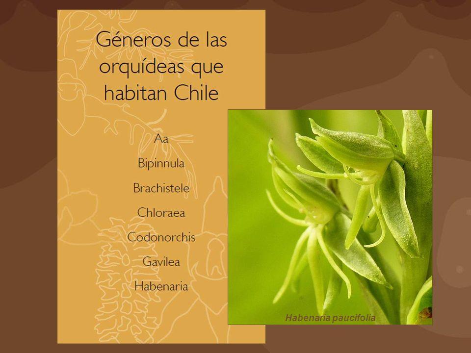 Habenaria paucifolia