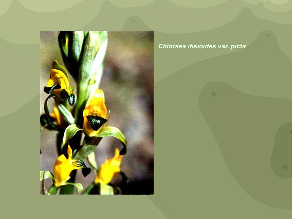 Chloraea disioides var. picta
