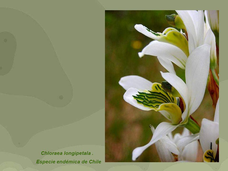 Chloraea longipetala. Especie endémica de Chile