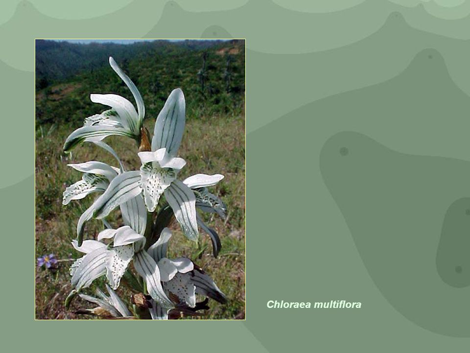 Chloraea multiflora