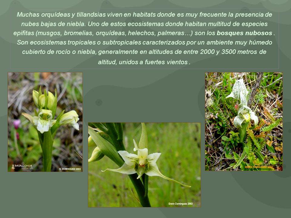 Muchas orquídeas y tillandsias viven en habitats donde es muy frecuente la presencia de nubes bajas de niebla.