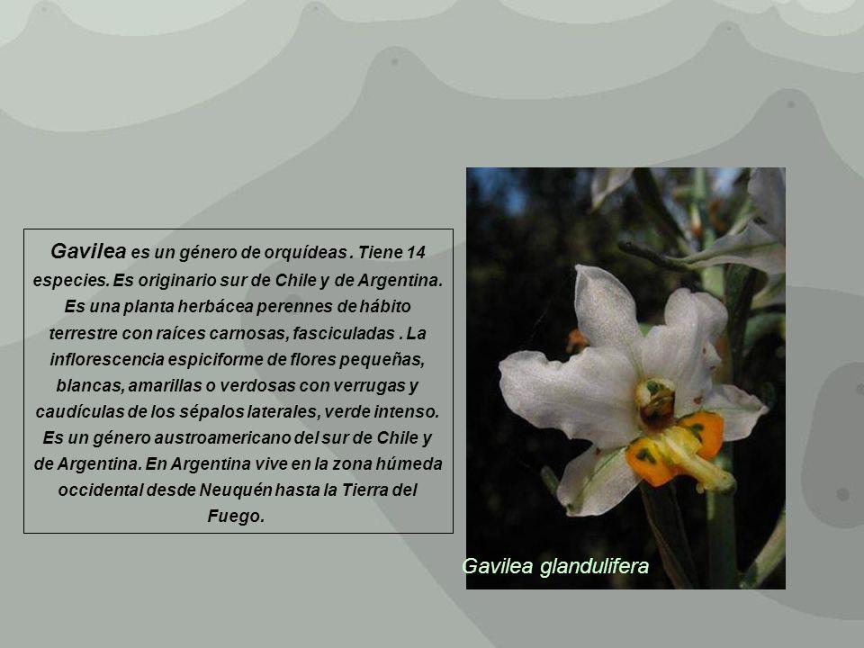Gavilea es un género de orquídeas. Tiene 14 especies