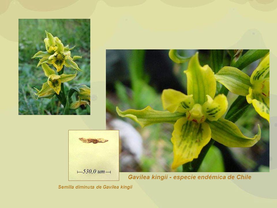Gavilea kingii - especie endémica de Chile