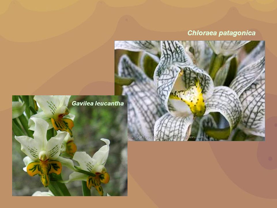 Chloraea patagonica Gavilea leucantha