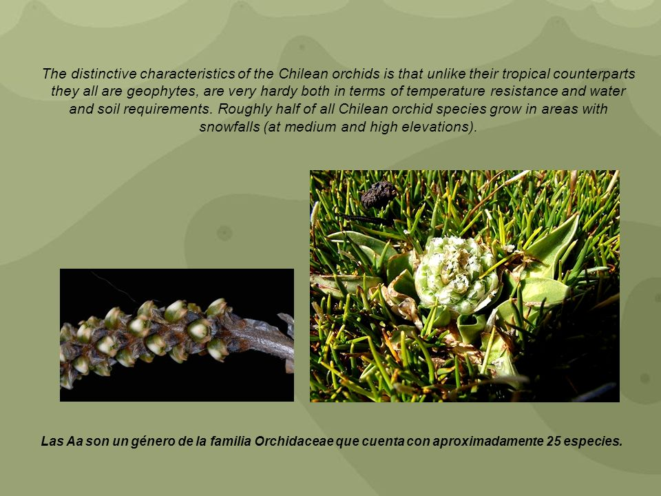 The distinctive characteristics of the Chilean orchids is that unlike their tropical counterparts they all are geophytes, are very hardy both in terms of temperature resistance and water and soil requirements. Roughly half of all Chilean orchid species grow in areas with snowfalls (at medium and high elevations).