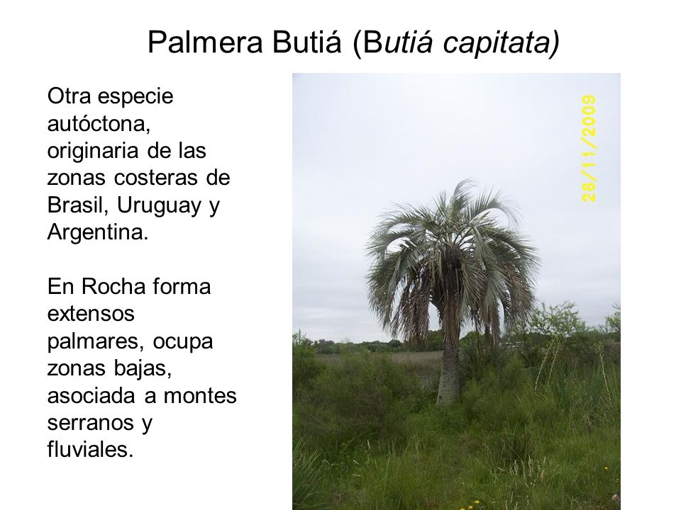 Palmera Butiá (Butiá capitata)