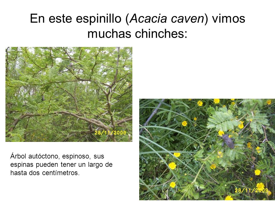 En este espinillo (Acacia caven) vimos muchas chinches: