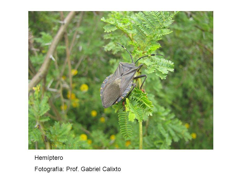 Hemíptero Fotografía: Prof. Gabriel Calixto