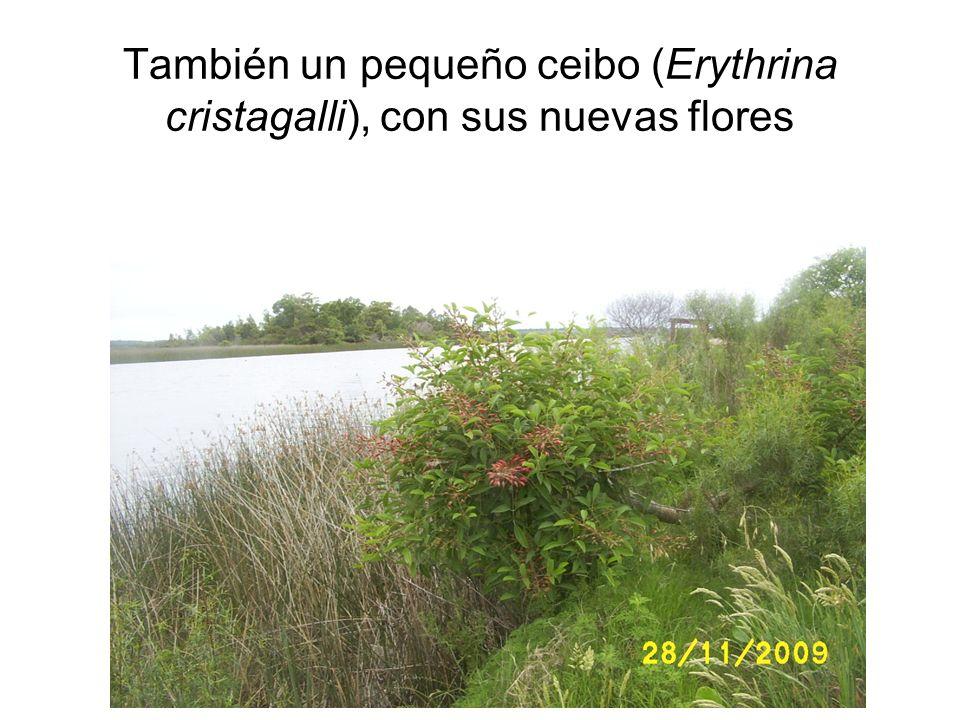 También un pequeño ceibo (Erythrina cristagalli), con sus nuevas flores