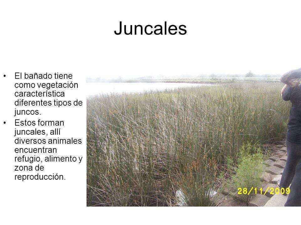 Juncales El bañado tiene como vegetación característica diferentes tipos de juncos.