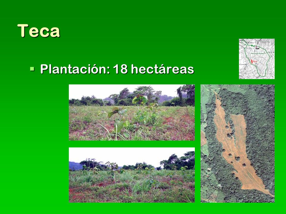 Teca Plantación: 18 hectáreas