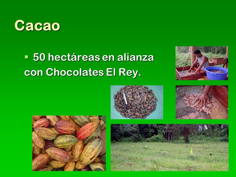 Cacao 50 hectáreas en alianza con Chocolates El Rey.