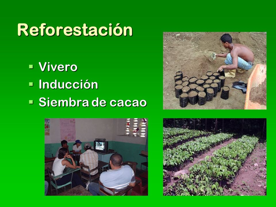 Reforestación Vivero Inducción Siembra de cacao