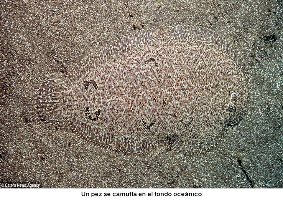 Un pez se camufla en el fondo oceánico
