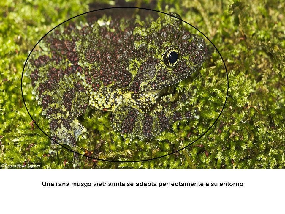 Una rana musgo vietnamita se adapta perfectamente a su entorno