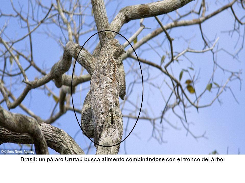 Brasil: un pájaro Urutaú busca alimento combinándose con el tronco del árbol