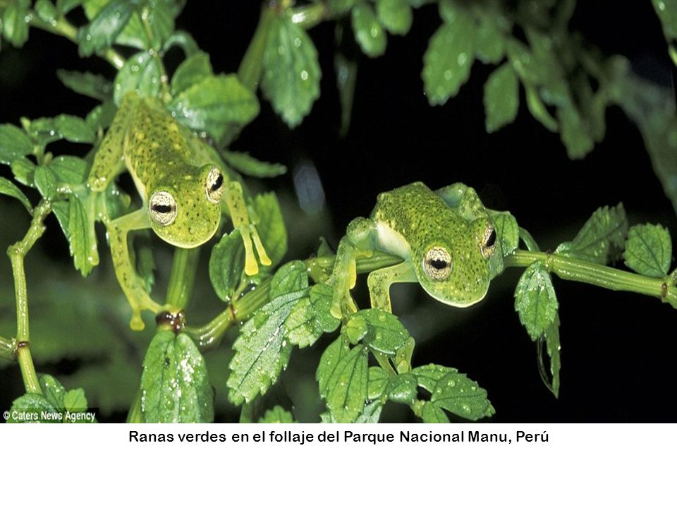 Ranas verdes en el follaje del Parque Nacional Manu, Perú