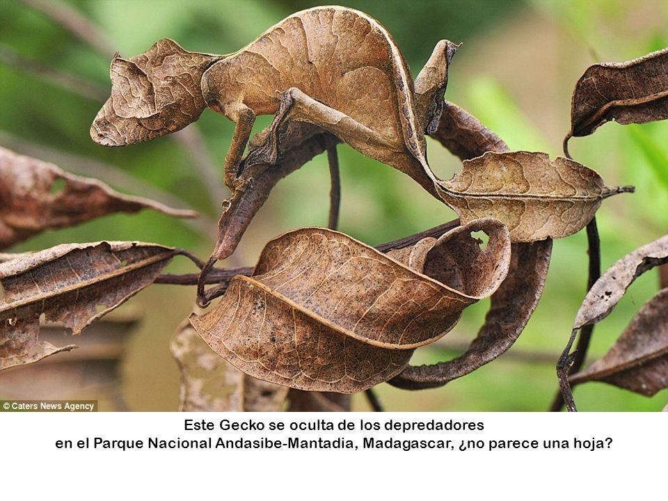Este Gecko se oculta de los depredadores en el Parque Nacional Andasibe-Mantadia, Madagascar, ¿no parece una hoja