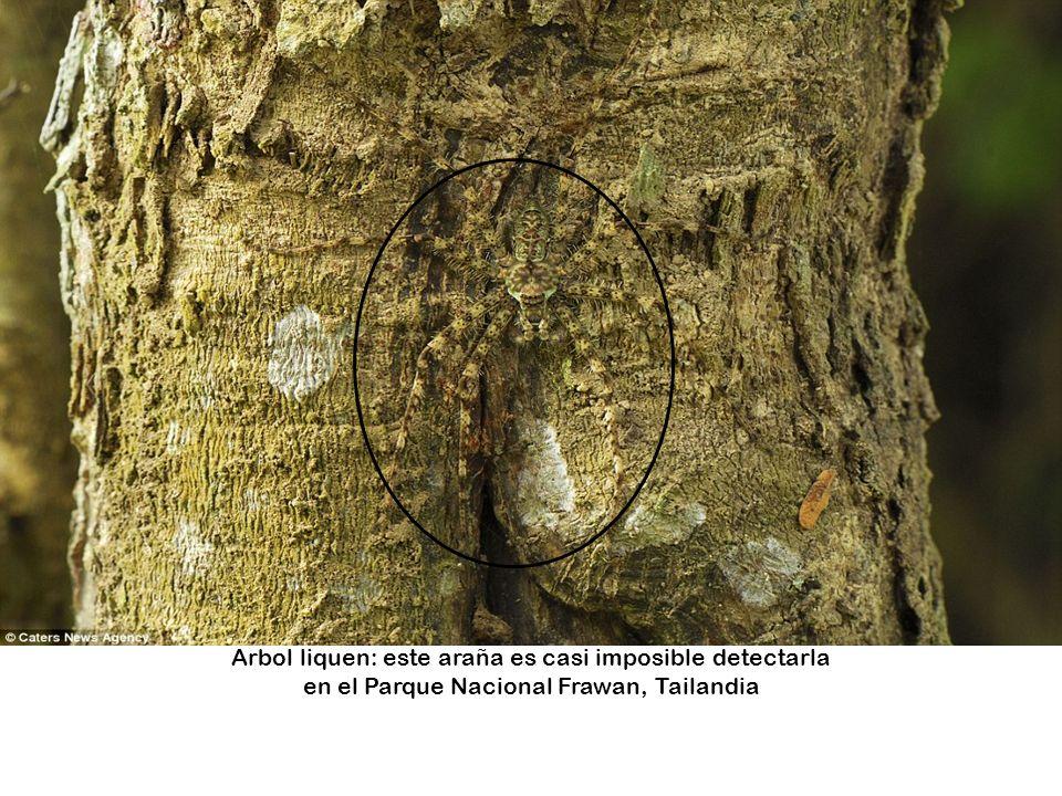 Arbol liquen: este araña es casi imposible detectarla en el Parque Nacional Frawan, Tailandia