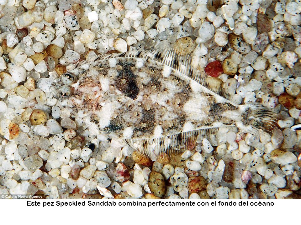 Este pez Speckled Sanddab combina perfectamente con el fondo del océano