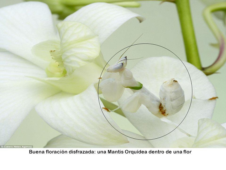 Buena floración disfrazada: una Mantis Orquídea dentro de una flor