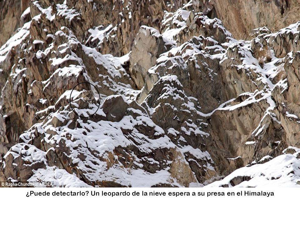 ¿Puede detectarlo Un leopardo de la nieve espera a su presa en el Himalaya