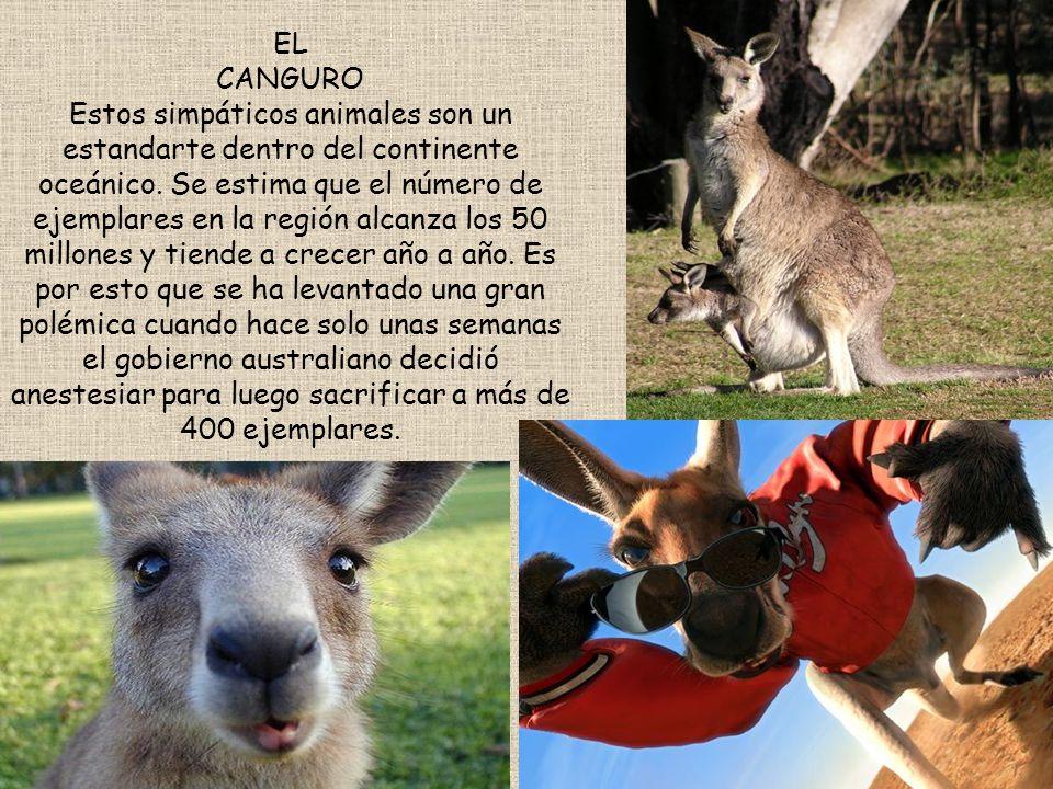 EL CANGURO Estos simpáticos animales son un estandarte dentro del continente oceánico.